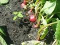 website eerste groenten Vriendentuin_Voedselbank 9 juni 2016_radijs.jpg