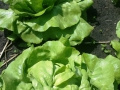 website eerste groenten Vriendentuin_Voedselbank 9 juni 2016_sla.jpg